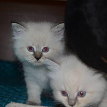 Коты в Кант
