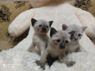 1346 elan | PIŞIKLƏR: Продаются котята .в семью.где любят животых.девочка и мальчик.такие