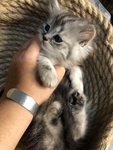 Котёнок. Мальчик Хайленд страйт ( шотландский длинношёрстный) родился