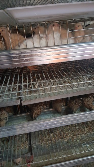Продаю  мясо перепелов в Бишкек