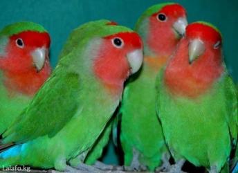 Попугаи разных видов от 600 сом и выше в Кок-Ой