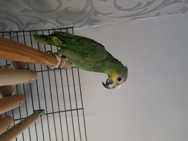 Πράσινος παπαγάλος AmazonΘηλυκός πράσινος παπαγάλος Amazon για πώληση