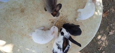 kiraye evler 1 gunluk in Azərbaycan | GÜNLÜK KIRAYƏ MƏNZILLƏR: 40 günlük bala dovşanlar