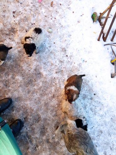 продажа щенков алабая в Кыргызстан: Отдам в хорошие руки шенят