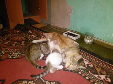 Bakı şəhərində Здоровые котята.Рыжий, Серый и Белый