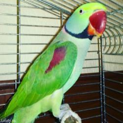 Молодой александрийских попугай