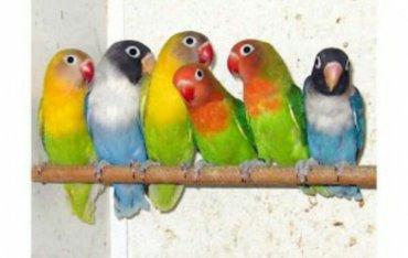 попугаи разных видов от 600 и выше в Бишкек
