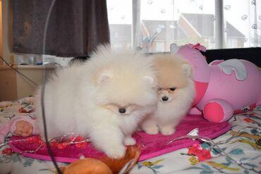 Αγνά κουτάβια Pomeranian 3 αρσενικά, 1 γυναίκα ψάχνουν για τις νέες