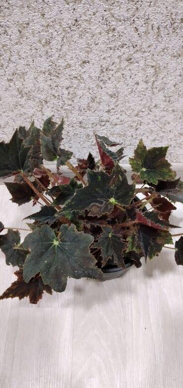 Otaq bitkiləri - Azərbaycan: Begoniya