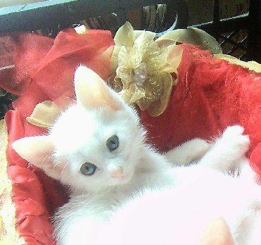 """бенгальский котенок в Азербайджан: Белый котенок с голубыми глазами цвета """"голубой бриллиант"""" от"""