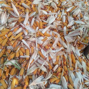 149 объявлений: Кукуруза в початках цена сухая 100%
