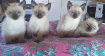 Mačke | Srbija: Sijamski mačićiNa prodaju čistokrvni sijamski mačići, starosti 6
