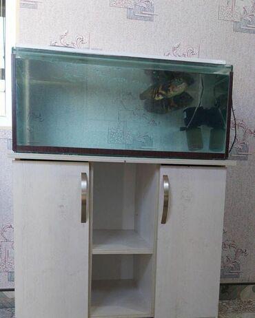 pirani baliqlari - Azərbaycan: Akvarium, wkafi, baliqlari ile birlikde( 2 Oskar baligi)300 man.Unvan