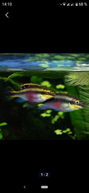 Пельвикахромис-пульхер,попугайчик,две взрослые пары,цена за пару