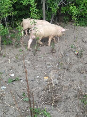 С/х животные - Кыргызстан: Продаю | Свинья (самка), Хряк (самец) | Ландрас, Дюрок | Для разведения | Племенные