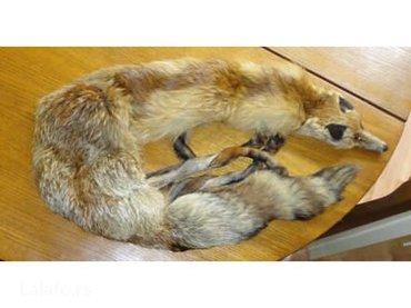 Okovratnik od lisice - Majdanpek