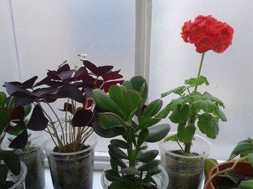 Фиалка сиреневая, китайская роза красная , каланхоэ красная. цветок в Сокулук