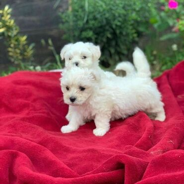 Διαθέσιμα κουτάβια Μάλτας Καλό με παιδιά και άλλα κατοικίδια ζώα να έχ