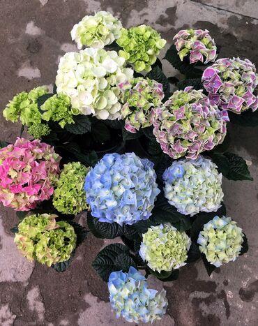 Комнатные гортензии пожалуй самые красивые цветы в домашнем интерьере