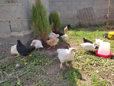 Цыплята домашние 2.5месячные 250сом
