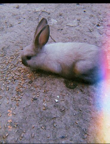 brilliance h230 15 аmт - Azərbaycan: Californiya dovşani satılır 2 denedi ağ boz qiymet 2si 15 manat dişisi