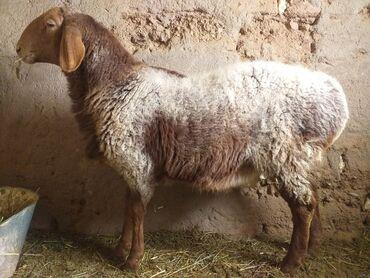 Бараны, овцы - Назначение: Для разведения - Бишкек: Продаю   Баран (самец)   Арашан   Для разведения   Племенные