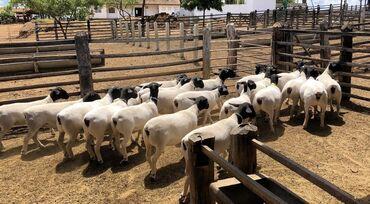 Μαύρο κεφάλι Dorper πρόβατα επικοινωνήστε με τη διεύθυνση email