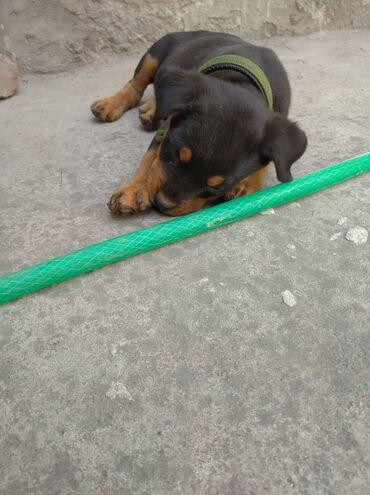 Продаю щенка ротвейлера(чистокровный)  Щенку 2 месяца
