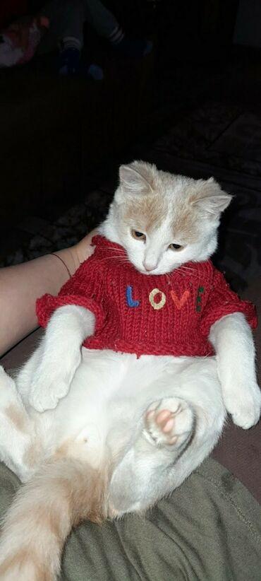 британский короткошерстный котенок в Кыргызстан: Котёнок. 4 месяца.мальчик ждёт нового хозяина игривый м