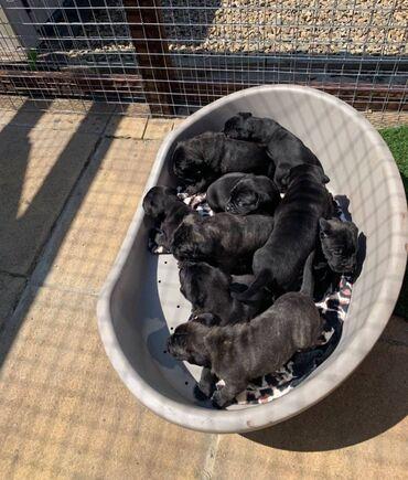 Εκπληκτικά κουτάβια Cane Corso4 σκύλες 3 σκυλιά 6 εβδομάδες την