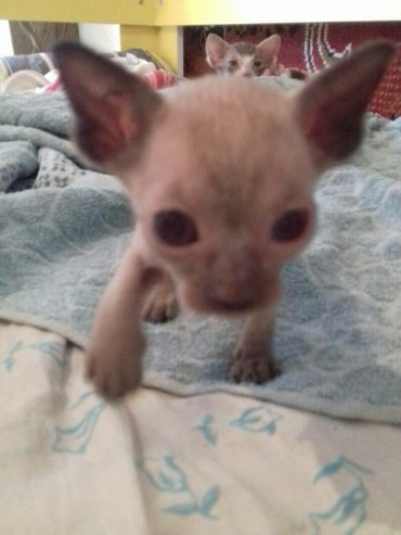 готовы к продаже котята породы донской сфинкс. без документов! не доро в Бишкек