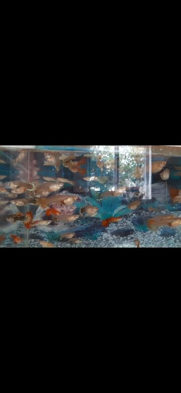 pirani baliqlari - Azərbaycan: SALAM ALEYKUM.quppi baliqlari satilir 40 denedi hamisini goturene 80