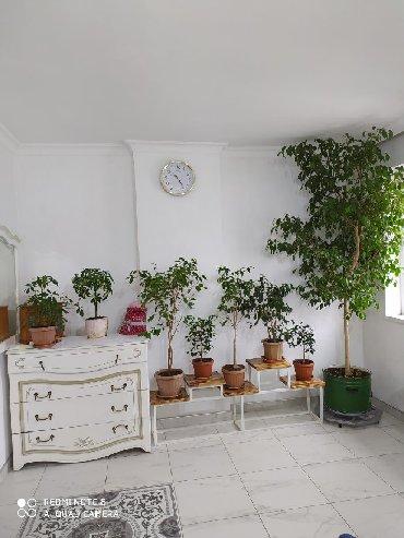 Комнатные растения - Кыргызстан: Продаю фикусы фикус бенджамина бенджамин,мирт, лавр китайская роза кал