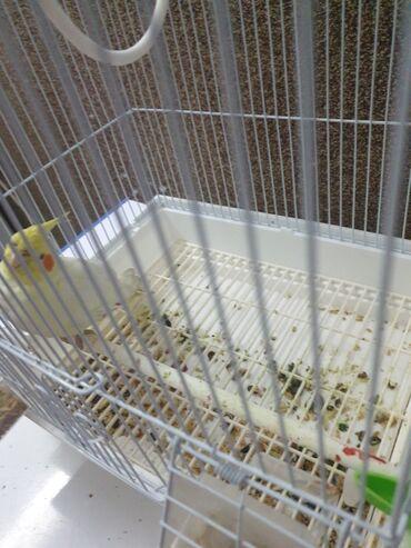 64 объявлений | ЖИВОТНЫЕ: СРОЧНО! Продаётся попугай породы карела нимфав месте с