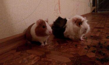 Морские свинки в Кыргызстан: Куплю морскую свинку гладкошёрстную,молодую 1-2 месяца,нужна соседка