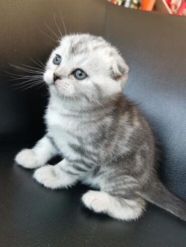 Продаются шикарные Шотландские котята с отличной родословной в нарядом