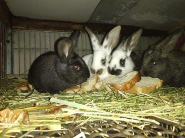 Крольчата, возраст 1,5 мес. фландер с в Бишкек