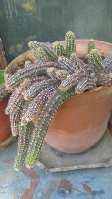 Kaktusi raznih vrsta