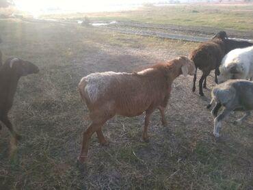 туз в Кыргызстан: 1кочкор, 6козу сатылат, кант туз айылында, келип коруп суйлошсо болот