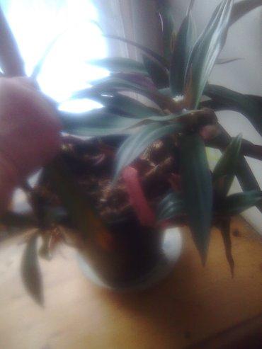 продаю цветы. любой  цветок - 500 сом. Торг уместен, предлагайте в Бишкек