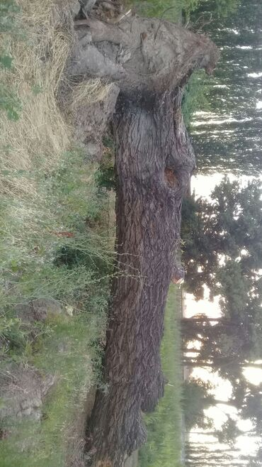 в Шопоков: Продаю дерево ива на дрова