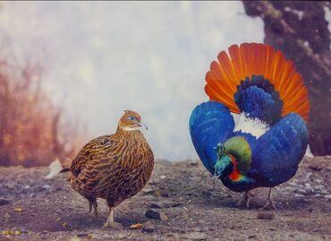 21 объявлений   ЖИВОТНЫЕ: Декоративные фазаны и фазанята !