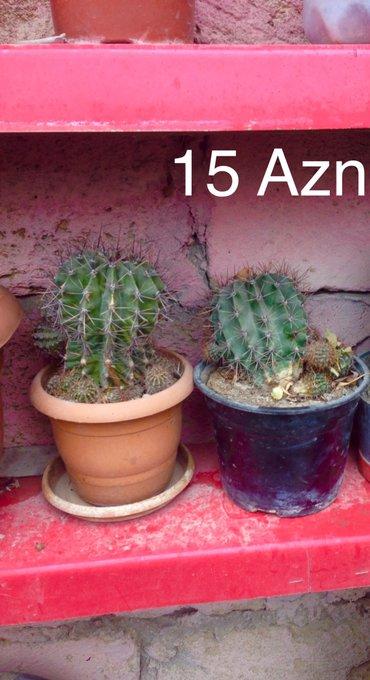 Xırdalan şəhərində Aloe ve muxtelif guller