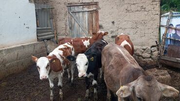 Животные - Каракол: Продаётся телёнки,и бычки порода сементал и шведский, европейский семе