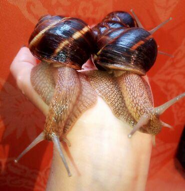 Другие животные - Кыргызстан: Улитка гигантские улитки продаю больших домашних древесных улиток