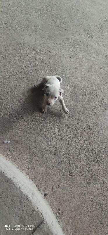 Животные - Александровка: Продаю питбуль