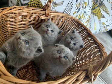 Σκωτσέζικα γατάκια για υιοθεσίαWhatsApp μου +33 Σκωτσέζικα γατάκια