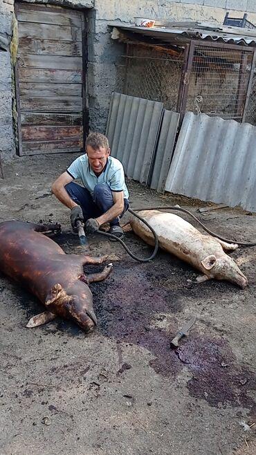 Животные - Константиновка: Продаю мяса режим на 6чисте маладые свиньи тушками продаём тоже вес