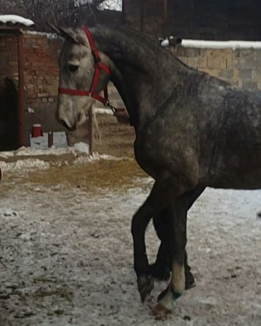 продаю коня английской породы весной будит 3 года в Бишкек
