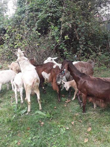 Животные - Исмаиллы: 18 keçidi. 3 erkey 15 dişi. 3 heleb 15 sanen